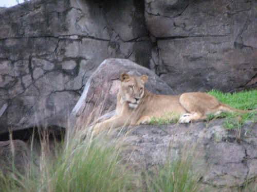 A lioness at the Kopje
