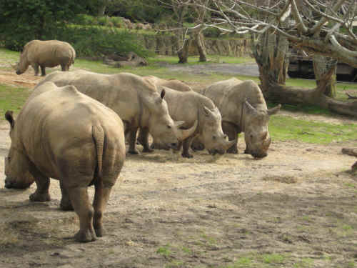 Not the best angle on the one white rhino