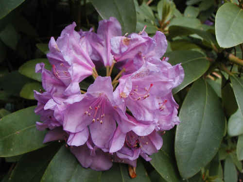 Rhododendron in my garden